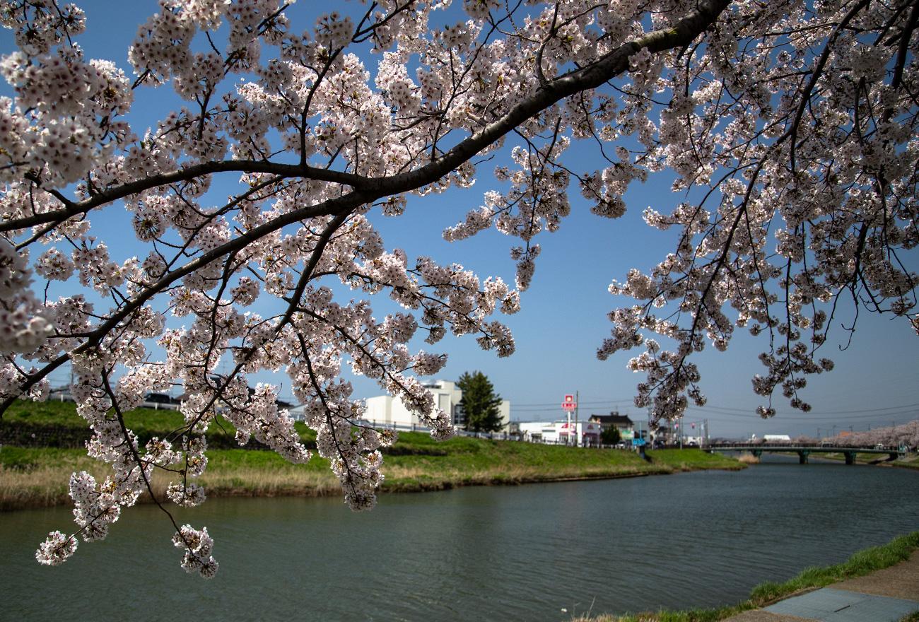 新井田川の桜2018_4_21