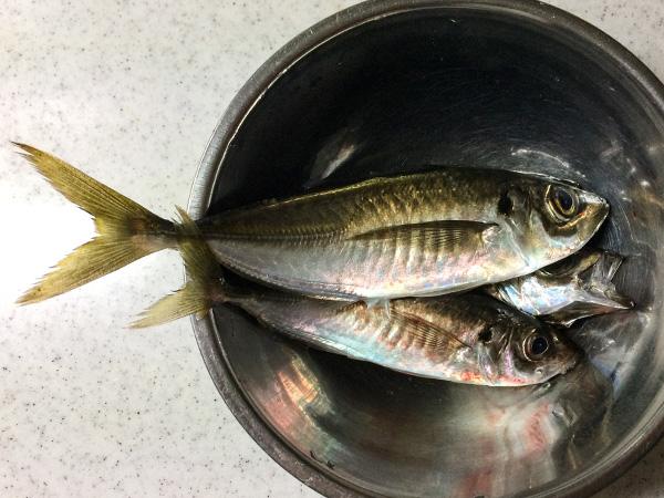 アジ釣り2018.05.01