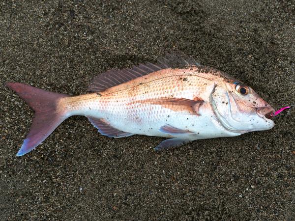 庄内サーフ 真鯛