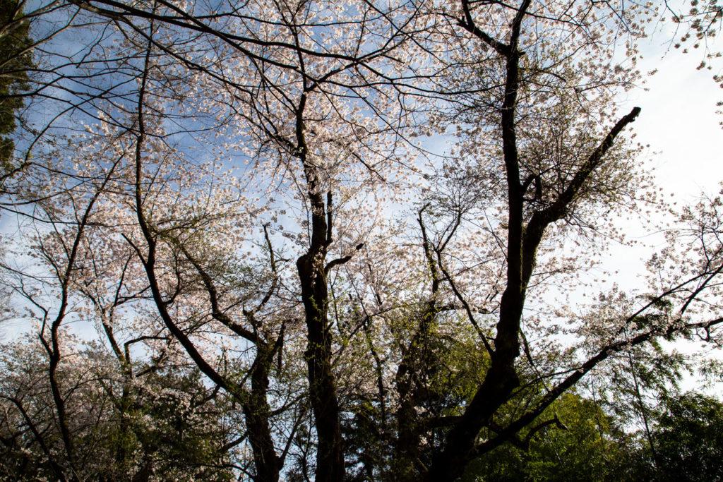蕨岡 W坂の桜 2019/4/20