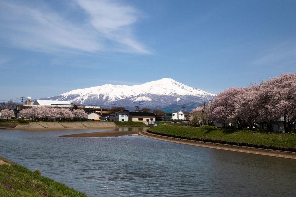 酒田市内を流れる新井田川の桜 2019/4/21