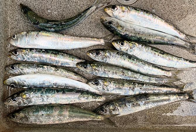 本日の釣果(約100匹中、持ち帰り)イワシ約20cm~24cm 14匹