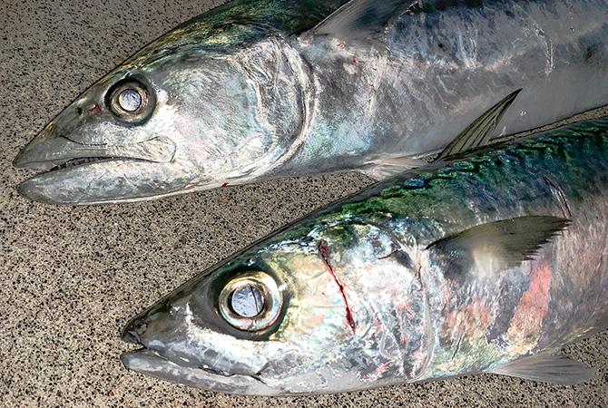 サバと顔が似ていると思ったらサゴシはスズキ目サバ亜目サバ科サワラ属だった。