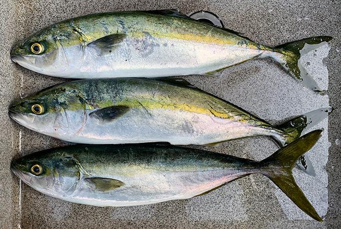 今年初のイナダ釣果。38cm、41cm、42cmのイナダ3兄弟。
