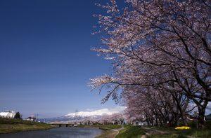 新井田川の桜と鳥海山