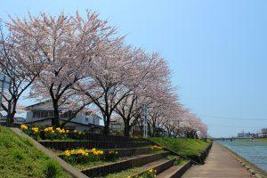 新井田川と桜並木