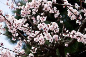 梅の花 2011.4.18