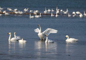 スワンパーク 白鳥