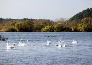 スワンパークの白鳥たち